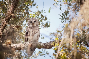 Myakka River_contest_Candice Smith_Afternoon Owl